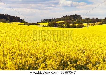 Field Of Rapeseed With Beautiful Cloud