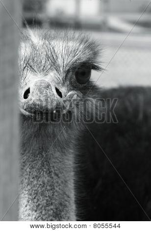watching ostrich