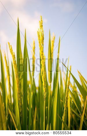 Young Fresh Rice Close Up