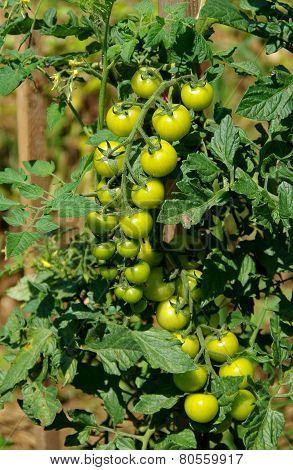Bush Tomatoes