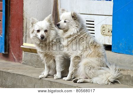 Two Hairy White Dogs On Asia City Street