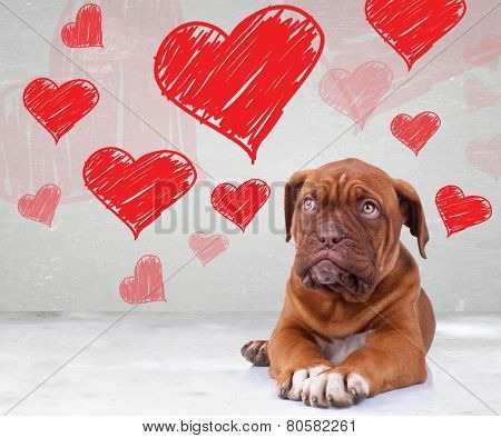 cute dog de bordeaux puppy looking up to heart shapes for valentine's day
