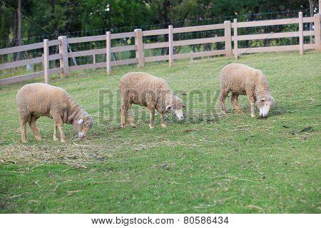 Merino Sheep Feeding In Green Grass Field Of Rural Ranch Farm