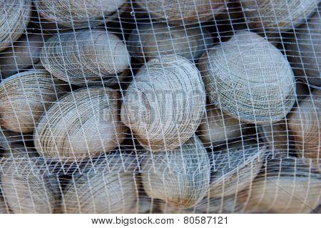 Littleneck Clams (Ameghinomya antiqua)