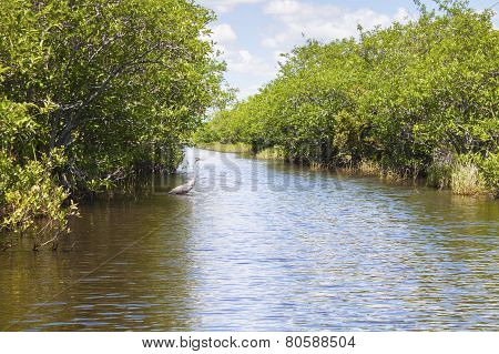 Heron In The Everglades Swamp In Florida