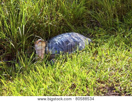 Snapping Turtle In The Grass
