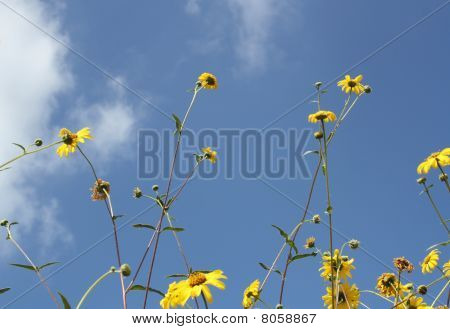 Yellow Wildflowers and sky