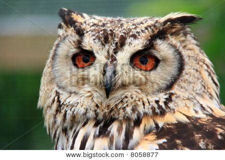 Eagle Owl facing camera