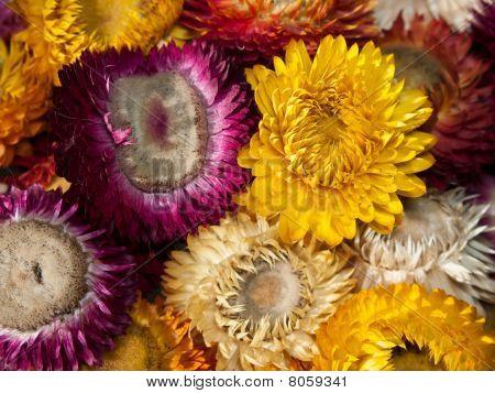 Bouquet of dry straw flower or everlasting(Helichrysum bracteatum)