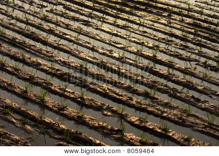 Rice Watered Furrows With Small Plants