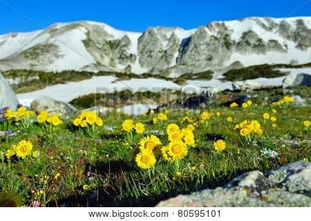 Alpine Meadow With Wild Flowers Closeup In Snowy Range Mountains, Wyoming
