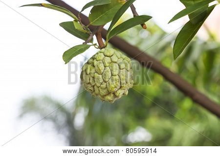 Custard Apple Fruit,annona Squamosa