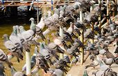 picture of feeding  - Pigeons waiting for feed from people - JPG