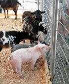foto of pot bellied pig  - a couple of baby pot bellied pigs goats and sheeps ask horses for advice through a fence at a petting zoo at a county fair - JPG