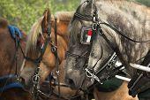 pic of blinders  - Belgian draft horses lined up ready for work - JPG