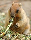 foto of groundhog day  - Marmot otherwise known as a ground squirrel or ground hog