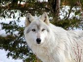 stock photo of white wolf  - white timber wolf with a snowy background - JPG