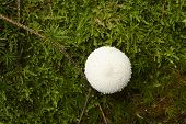 picture of common  - A common puffball grows on a mossy green forest floor - JPG