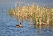stock photo of great crested grebe  - The Great Crested Grebe on the lake - JPG