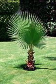 pic of washingtonia  - Washingtonia filifera - JPG