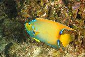 stock photo of angelfish  - Queen Angelfish  - JPG