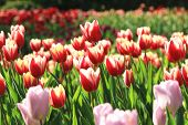 picture of common  - Tulip flowers - JPG