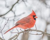 foto of cardinal-bird  - A Male Cardinal perched on a tree branch - JPG