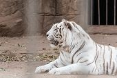 pic of albinos  - albino white tiger in exotic zoo at thailand - JPG