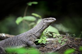 stock photo of goanna  - Large monitor lizard in jungle - JPG