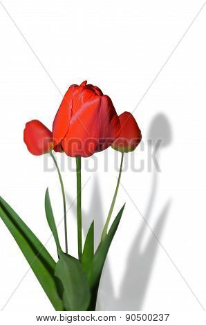 Red Tulip Flowers On A White Background