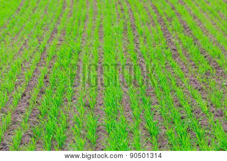 Young Green Cereal Sprouts