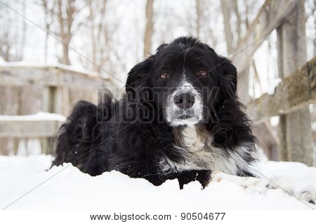 Dog Laying In Snow Looking At Camera