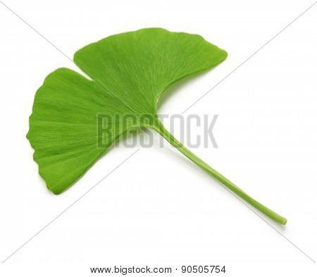 ginkgo biloba leaf isolated on white background