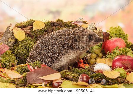 Hedgehog on leaves closeup