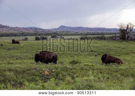 Wild Buffalo.