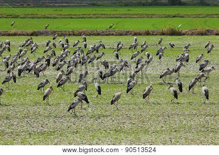 Open-billed stork bird
