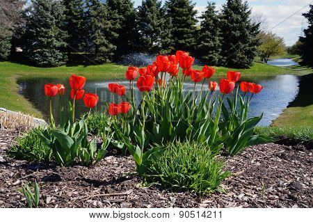 Red Tulips in Front of a Small Pond