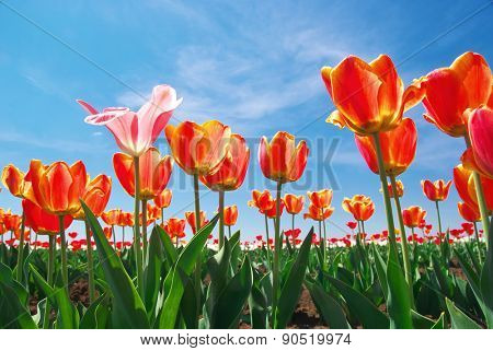 Tulips and sky background. Composition of nature.