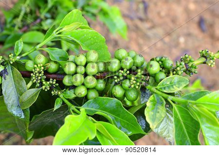 Coffee tree with green coffee bean on cafe plantation
