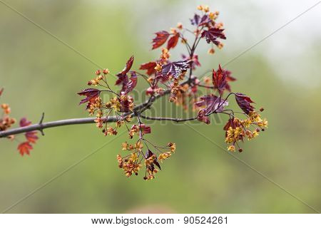 Branch Of A Blossoming Maple