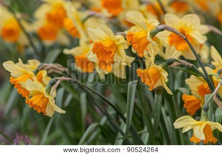 Yellow Daffodils Closeup