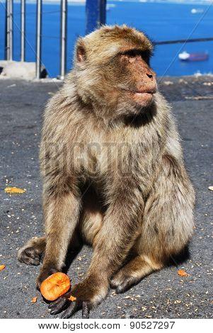 Barbary Ape, Gibraltar.