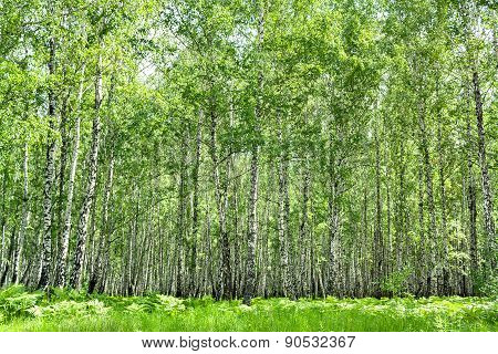 Summer Landscape With The Birch Forest