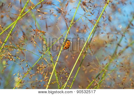 Summer Meadow And Ladybug On A Grass