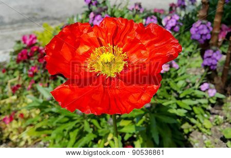 Beautiful Red Blooming Poppy