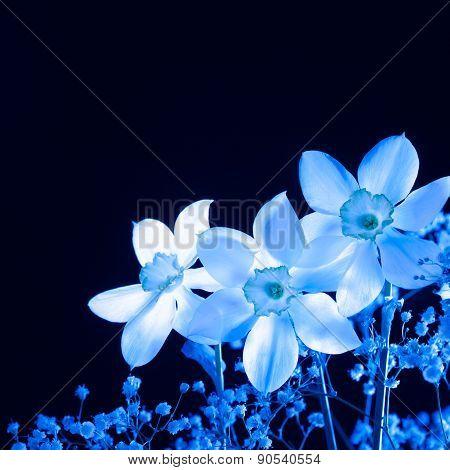 Blue narcissus on a black background