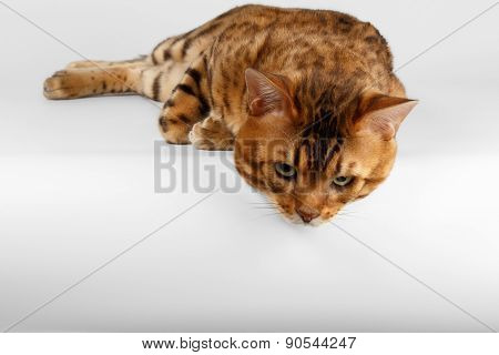 Bengal Cat on White background and Looking down