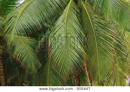 Oconut Fronds