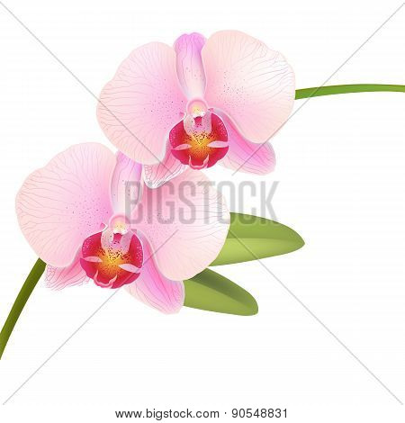 Pink Phalaenopsis.orchid