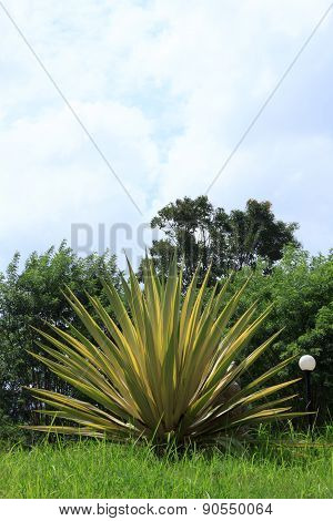Agave sisalana Perr. for home decor and garden.